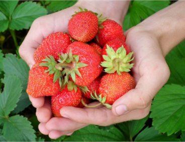 Journée fertigation des fruits rouges à Moulay Bousselham
